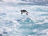 Jumping Rockhopper Penguin